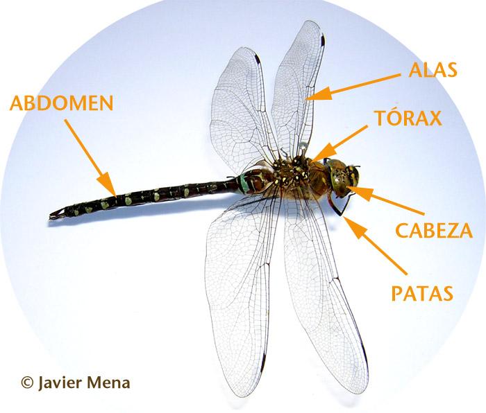 Caracteristicas Insectos