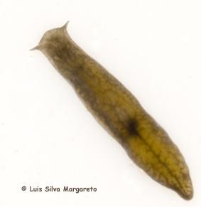 Coelomate de platyhelminthes. FISWAN Filum Platyhelminthes, Planaria phylum platyhelminthes